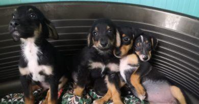Gli 11 cuccioli sequestrati affidati a Enpa Faenza, settembre 2019 (2)